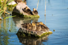 Young wild duck resting on the rock Stock Images