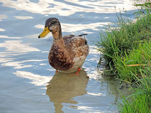 Young wild duck standing at the bottom of a shallow river Stock Image