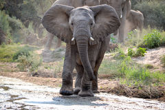 Young Wild Elephant. A young african elephant begins to cross a riverbed followed closely by his family Stock Photo