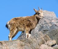 Young wild goat. On a rock over blue sky Royalty Free Stock Photography