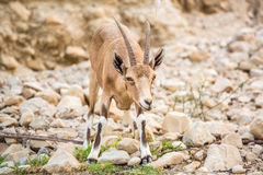 Young wild goat (Capra) in Middle East Royalty Free Stock Photo