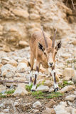 Young wild goat (Capra) in Middle East Stock Photo