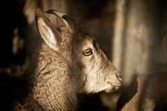 Young wild goat on dark background Stock Photo