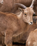 Young wild goat Stock Photo