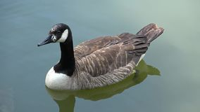 Wild goose drinking water from a forest lake. A young wild goose swims in a forest lake Water sky and clouds stock video footage