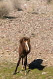 Young Wild Horse Along the Salt River Royalty Free Stock Photos
