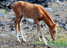 Young wild horse Stock Images