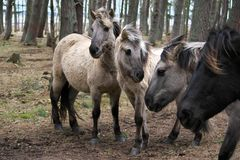 Young wild horses of various colors with theirs manes blowing in the wind royalty free stock image