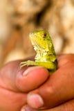 Young Wild Iguana Royalty Free Stock Photo