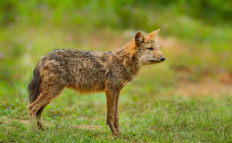 Young wild Jackal (Canidae ) Stock Photos