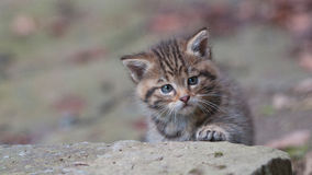 Young wild kitty Royalty Free Stock Photos
