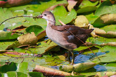 Young wild moorhen duck walking on water lilies with a sprig of Stock Image