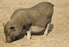 Young wild pig Royalty Free Stock Photos