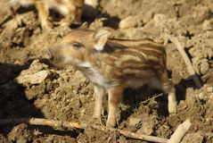 Young wild pig Stock Photography