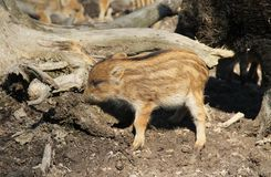 Young wild pig. Cute young wild pig Sus scrofa with stripes on its fur Royalty Free Stock Images