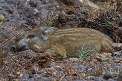 Young wild pig sleeping in the shadow Stock Photography