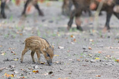 Young wild pig Stock Image