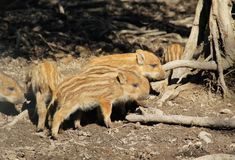 Young wild pigs. Cute young wild pigs Sus scrofa with stripes on their fur Royalty Free Stock Photos