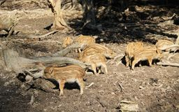 Young wild pigs. Group of cute young wild pigs Sus scrofa with stripes on their fur Royalty Free Stock Photos