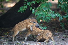 Young wild pigs Royalty Free Stock Photos