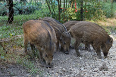 Young wild pigs. Young wild pigs on residential estate Stock Photography