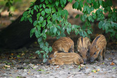 Young wild pigs Stock Images