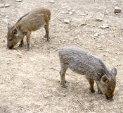 Young wild pigs royalty free stock photo