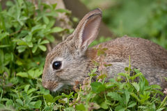 Young wild Rabbit Stock Photography
