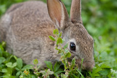 Young wild Rabbit. In the English countryside Royalty Free Stock Images