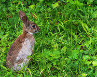 Young wild rabbit Stock Photo