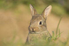 Young wild rabbit Stock Images