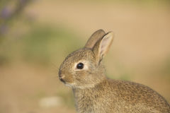 Young wild rabbit Royalty Free Stock Image
