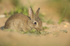 Young wild rabbit Royalty Free Stock Images