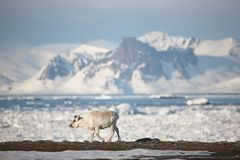 Young wild reindeer in Arctic landsc - Spitsbergen Royalty Free Stock Photos