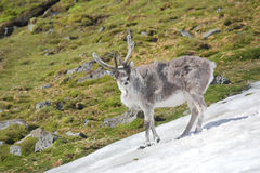 Young wild reindeer in Arctic tundra - Spitsbergen Stock Photo