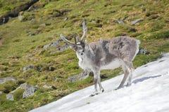 Young wild reindeer in Arctic tundra - Spitsbergen Stock Photo