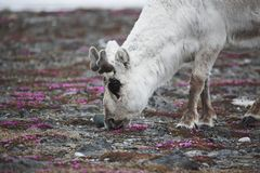 Young wild reindeer in Arctic tundra - Spitsbergen Royalty Free Stock Photos