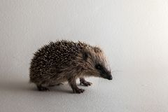 Young wild rescued European hedgehog in studio on white background. Male, weight 300 gram, too small to hibernate through the long norwegian winter. It is fed Stock Photo