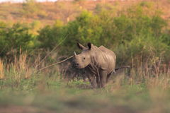 Young wild rhinoceros Stock Photography