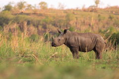 Young wild rhinoceros stock image