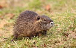 Young hairy river coypu Stock Image