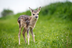 Young wild roe deer in grass, Capreolus capreolus. New born roe Stock Photo
