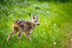 Young wild roe deer in grass, Capreolus capreolus. Royalty Free Stock Images