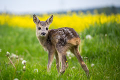 Young wild roe deer in grass, Capreolus capreolus. New born roe deer, wild spring nature Royalty Free Stock Photo
