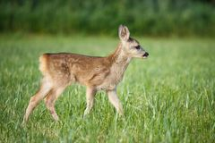 Young wild roe deer in grass, Capreolus capreolus. Stock Photos