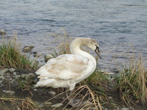 Young wild swan on river shore among grass. Young wild swan walking on river bank among tall grass Stock Photography