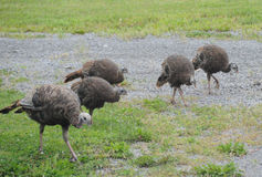 Young Wild Turkeys Stock Photo