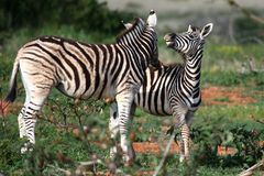 Young Wild Zebras Stock Photos