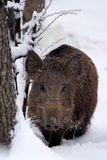Young wildboar (Sus scrofa). Young wild boar in the snow (Sus scrofa Stock Photos