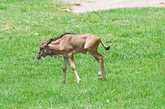 Young Wildebeest Stock Photo